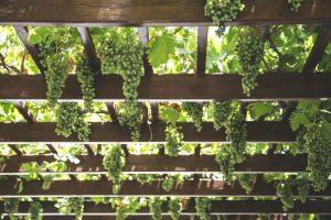 Wine Additives AVEL grapes 4 οινολογικά πρόσθετα